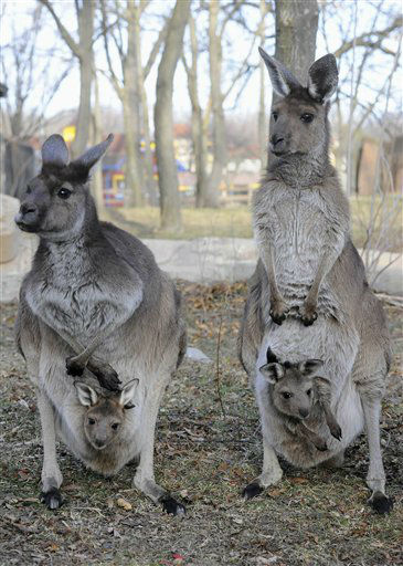 In this Jan. 9, 2013 photo provided by the Chicago Zoological Society, kangaroo moms, Sheila, left, 11,and Daisy,  7 1&#47;2, stand with their joeys at the Brookfield Zoo&#39;s Australia House exhibit in Brookfield, Ill. The joeys were born on Feb. 20 and March 13 of last year and have only recently emerged from the pouches to explore their new surroundings. &#40;AP Photo&#47;Chicago Zoological Society, Jim Schulz&#41; <span class=meta>(AP Photo&#47; Jim Schulz)</span>