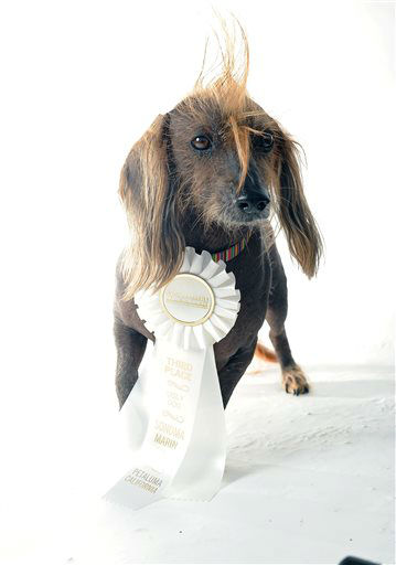Isaboo poses for a portrait while competing in the 25th annual World&#39;s Ugliest Dog Contest at the Sonoma-Marin Fair on Friday, June 21, 2013, in Petaluma, Calif. &#40;AP Photo&#47;Noah Berger&#41; <span class=meta>(AP Photo&#47; Noah Berger)</span>