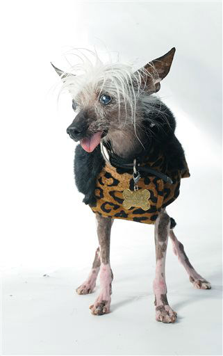 Rascal poses for a portrait while competing in the 25th annual World&#39;s Ugliest Dog Contest at the Sonoma-Marin Fair on Friday, June 21, 2013, in Petaluma, Calif. &#40;AP Photo&#47;Noah Berger&#41; <span class=meta>(AP Photo&#47; Noah Berger)</span>