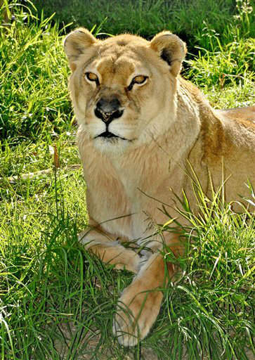 "<div class=""meta image-caption""><div class=""origin-logo origin-image ""><span></span></div><span class=""caption-text"">This image provided by the Los Angeles Zoo and Botanical Gardens shows the lioness Cookie in an undated photo. Zoo officials said in a statement Friday that Cookie died Friday Sept. 28, 2012 at the Los Angeles Zoo, 18 months after the death of her male companion. Cookie had been under veterinary care for a month and her quality of life was diminishing quickly, so she was euthanized. A post-mortem investigation showed she had cancer according to zoo officials. (AP Photo/Los Angeles Zoo and Botanical Gardens, Tad Motoyama) (AP Photo/ Tad Motoyama)</span></div>"