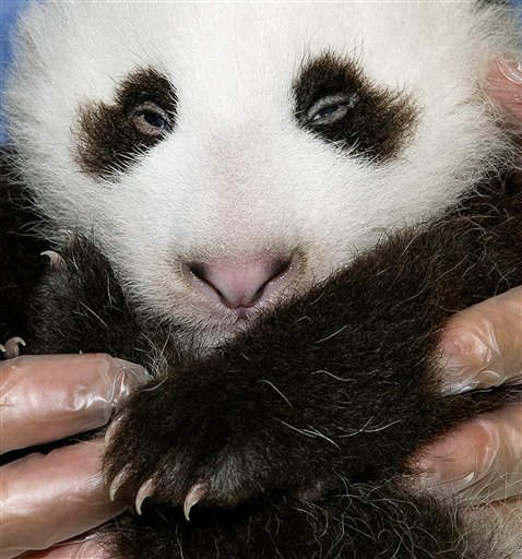 FILE - In this Sept. 20,2012 file photo provided by the San Diego Zoo, the panda cub at the San Diego Zoo is shown during his fifth veterinary exam. The male panda, born on July 29, 2012. The San Diego Zoo has announced that its 15-week-old giant panda has been named Xiao Liwu, which means Little Gift. The name was selected by the public, which voted on the zoo&#39;s website. &#40;AP Photo&#47;San Diego Zoo&#47;Tammy Spratt,File&#41; <span class=meta>(AP Photo&#47; Tammy Spratt)</span>