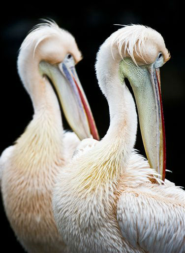 Two Great White Pelicans clean their plumage in their enclosure in the Frankfurt Zoo , Monday Feb. 25, 2013. (AP Photo/dpa, Nicolas Armer)