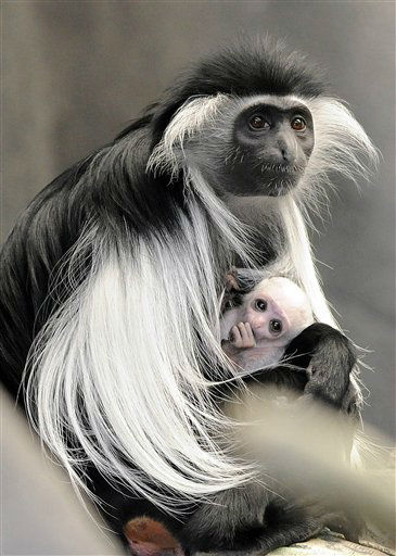 This photo taken Nov. 20 2012 in Brookfield, Ill., and provided by the Chicago Zoological Society shows, an Angolan colobus monkey born at Brookfield Zoo on March 9 with its mom, Olivia. This is the first birth of this species of colobus born at the zoo. Both mom and her baby may be seen daily in the zoo???s Tropic World: Africa exhibit. Angolan colobuses are found in dense rain forests throughout equatorial Africa. These animals are the most arboreal of the African monkeys, spending most of their time in the canopy. (AP Photo/Chicago Zoological Society, Jim Schulz) NO SALES