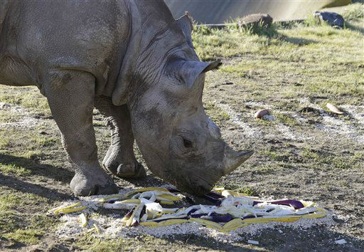 Boone, a black rhino named after San Francisco 49ers tackle Alex Boone, feeds on the Baltimore Ravens logo made of vegetables at the San Francisco Zoo in San Francisco, Thursday, Jan. 31, 2013.  The zoo fed Boone the special breakfast in support of Sunday&#39;s Super Bowl between the San Francisco 49ers and Baltimore Ravens. &#40;AP Photo&#47;Eric Risberg&#41; <span class=meta>(AP Photo&#47; Eric Risberg)</span>