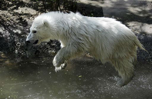 Luna, a resident polar bear cub, jumps in the water during a news conference at the Buffalo Zoo in Buffalo, N.Y., Wednesday, May 15, 2013. Luna will be the playmate for Kali, an orphaned polar bear cub from Alaska, until a permanent home is located. &#40;AP Photo&#47;David Duprey&#41; <span class=meta>(AP Photo&#47; David Duprey)</span>