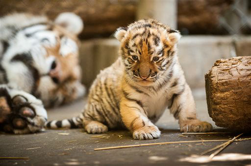 "<div class=""meta image-caption""><div class=""origin-logo origin-image ""><span></span></div><span class=""caption-text"">This undated photo provided by the Pittsburgh Zoo and PPG Aquarium shows the new Amur tiger cub in a restricted area at the zoo. The cub is still too small to display in the zoo's outside yard, so visitors will hve to settle for viewing him on a video monitor at a window into the outdoor display. (AP Photo/Pittsburgh Zoo and PPG Aquarium, Paul A. Selvaggio) (AP Photo/ Paul A. Selvaggio)</span></div>"