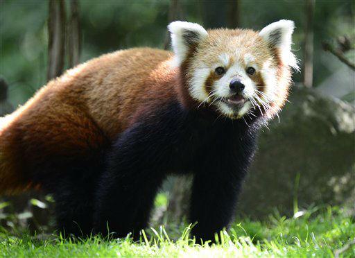 """<div class=""""meta image-caption""""><div class=""""origin-logo origin-image """"><span></span></div><span class=""""caption-text"""">Der Kleine Panda (Ailurus fulgens), auch Roter Panda oder Katzenbaer, Ole erkundet am Freitag (03.08.12) im Zoo in Hannover sein Gehege. Ole wurde vor einem Jahr in einem Zoo in Norwegen geboren und leistet seit wenigen Tagen Katzenbaerin Shana Gesellschaft. Nun hofft der Zoo Hannover auf Nachwuchs bei den bedrohten Tieren. Foto: Nigel Treblin/dapd (Photo/Nigel Treblin)</span></div>"""