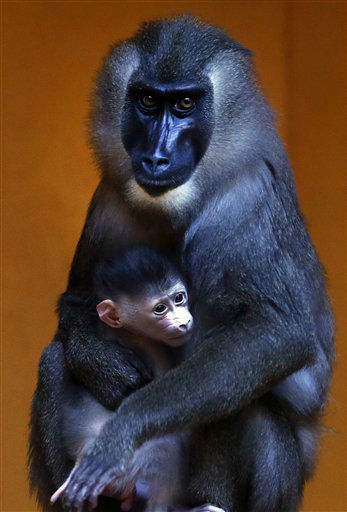 "<div class=""meta ""><span class=""caption-text "">Female drill monkey Kaduna, eight years old, holds her newborn baby at the zoo of in Munich, southern Germany, on Thursday, Jan. 31, 2013. The cub was born on Jan. 24 and the keepers could not find out yet if it is male or female. (AP Photo/Matthias Schrader) (AP Photo/ Matthias Schrader)</span></div>"