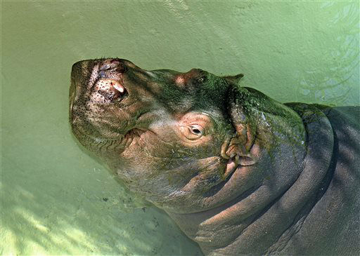 "<div class=""meta image-caption""><div class=""origin-logo origin-image ""><span></span></div><span class=""caption-text"">A young male hippopotamus named Adhama is seen in this photo from June, 2013, released by the Los Angeles Zoo.  Adhama was born at the San Diego Zoo on Jan. 26, 2011, to Funami and Otis, a male from the L.A. Zoo on loan to the San Diego Zoo.  Zoo visitors can view Adhama daily in his habitat adjacent to the Indian rhino and Sumatran tigers. (AP Photo/Los Angeles Zoo, Tad Matoyama) (AP Photo/ Tad Matoyama)</span></div>"