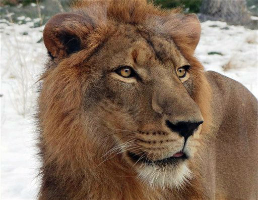 In this undated photo released by the Detroit Zoological Society, Simba, a 4-year-old male lion once owned by the royal family of Qatar is shown at the Detroit Zoo, in Royal Oak, Mich. Simba arrived in the U.S. in October of 2012. The zoo says the royal family received Simba as a gift, but after a few years decided he would be better off in different environment. (AP Photo/Detroit Zoological Society, Patti Woods Truesdell)