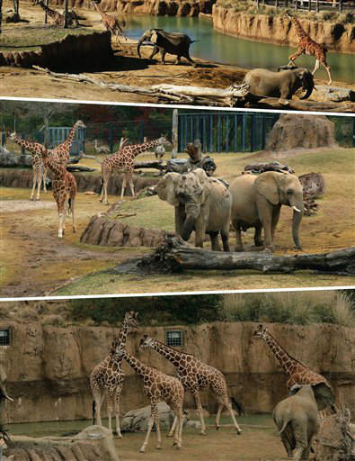 It's a first! African elephants, giraffes and ostriches explore the Dallas Zoo's Giants of the Savanna together. The Dallas Zoo is the first zoo in North America to combine African elephants with zebras, giraffes, impalas, ostriches and guinea fowl in the same habitat, where these majestic animals can explore the award-winning Giants of the Savanna habitat side by side, just as they would in the wild. (PRNewsFoto/Dallas Zoo) THIS CONTENT IS PROVIDED BY PRNewsfoto and is for EDITORIAL USE ONLY**