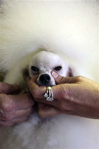 Angel, a 2-year-old Toy Poodle from Houston, Texas, is groomed prior to competition during the 137th Westminster Kennel Club dog show, Monday, Feb. 11, 2013 in New York. &#40;AP Photo&#47;Mary Altaffer&#41; <span class=meta>(AP Photo&#47; Mary Altaffer)</span>