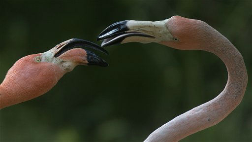 "<div class=""meta image-caption""><div class=""origin-logo origin-image ""><span></span></div><span class=""caption-text"">Two Cuban red flamingos play at the zoo in Madrid, Spain Thursday June 6, 2013. (AP Photo/Paul White) (AP Photo/ Paul White)</span></div>"