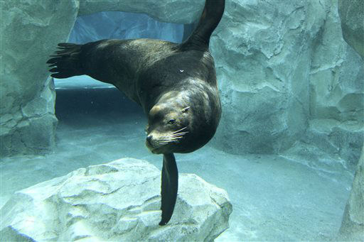 "<div class=""meta image-caption""><div class=""origin-logo origin-image ""><span></span></div><span class=""caption-text"">A blind California sea lion known as Big Guy is seen in this undated photo provided by the Hogle Zoo in Salt Lake City.  Zookeepers say Big Guy, a popular fixture at the zoo, died Monday, July 8, 2013, a few days after staff members noticed he'd lost interest in eating and training. Veterinarians who performed a necropsy on him say he had a large cancerous tumor that was spreading to other organs and would have been untreatable. (AP Photo/Hogle Zoo) Zoo staff members say they noticed Big Guy's unusual behavior on July 4. He died four days later while veterinarians sedated him in an effort to diagnose the problem. Officials say Big Guy washed up on the shores of Southern California in 2010 after a traumatic incident that left him blind in both eyes. He arrived at Hogle Zoo in 2012. (AP Photo/ Anonymous)</span></div>"