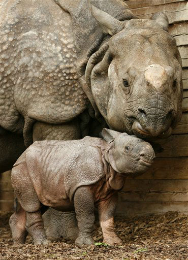ARCHIV: Das Panzernashorn-Maedchen Seto Paitala &#40;nepalesisch fuer weisser Fuss&#41; steht im Tiergarten in Nuernberg neben seiner Mutter Purana im Gehege &#40;Foto vom 03.09.09&#41;. Der Nuernberger Zoo trauert um das Panzernashorn Purana. Das 1992 in Basel geborene Weibchen sei am Mittwochabend &#40;14.11.12&#41; eingeschlaefert worden, nachdem es sich von einer starken Augenentzuendung trotz medikamentueser Behandlung nicht erholt habe und immer schwaecher geworden sei, teilte der Zoo am Donnerstag &#40;15.11.12&#41; mit. &#40;zu dapd-Text&#41; Foto: Timm Schamberger&#47;dapd <span class=meta>(Photo&#47;Timm Schamberger)</span>