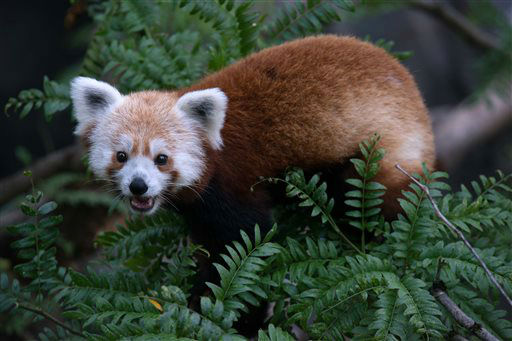 This undated handout photo provided by the National Zoo shows a red panda that has gone missing from its enclosure at the zoo in Washington. National Zoo spokeswoman Pamela Baker-Masson says animal keepers discovered the male red panda named Rusty was missing on Monday morning. Red pandas are in a separate family from giant pandas and are listed as vulnerable in the wild. They are highly territorial, so Baker-Masson says it?s unlikely that Rusty traveled far from his home. He is likely hiding high in a tree branch.  &#40;AP Photo&#47;Smithsonian?s National Zoo, Abby Wood&#41; <span class=meta>(AP Photo&#47; Abby Wood)</span>