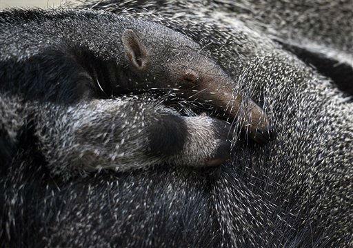 Ein Grosses Ameisenbaer Junges (Myrmecophaga tridactyla) haelt sich am Mittwoch (30.01.13) in Dortmund im Zoo am Ruecken seiner Mutter fest. Das Jungtier erblickte am 17.Dezember 2012 das Licht der Welt. Foto: Sascha Schuermann/dapd
