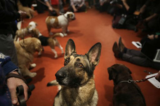 "<div class=""meta image-caption""><div class=""origin-logo origin-image ""><span></span></div><span class=""caption-text"">A German Shepard named Commander attends a news conference at the American Kennel Club in New York. The club announced their list of the most popular dog breeds in 2013, and the German Shepherd ranks second. (AP Photo/Seth Wenig) (AP Photo/ Seth Wenig)</span></div>"