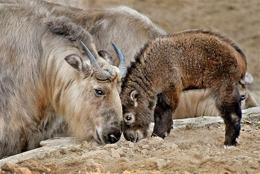 This image provided Wednesday April 17, 2013, by the Los Angeles Zoo shows a male Sichuan takin kid born in January 2013 in Los Angeles. The male of  four goat antelopes are normally found in the mountains of China. &#40;AP Photo&#47;Los Angeles Zoo&#41; <span class=meta>(AP Photo&#47; Uncredited)</span>