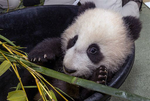 In this photo provided by the San Diego Zoo, panda cub Xiao Liwu snacks on bamboo following a clean health examination on Tuesday, Jan. 1, 2012, in San Diego. San Diego Zoo Global, in conjunction with giant panda experts from the People?s Republic of China, continues to work on science-based panda conservation programs at the Zoo and in China. &#40;AP Photo&#47;San Diego Zoo, Ken Bohn&#41; <span class=meta>(AP Photo&#47; Ken Bohn)</span>
