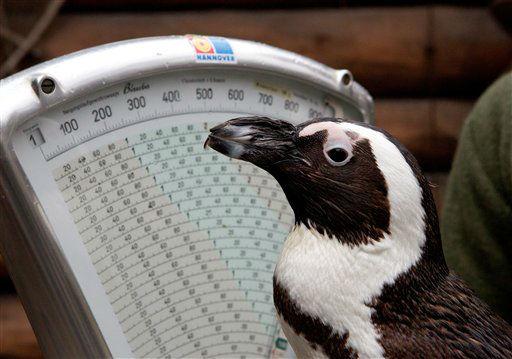 """Brillenpinguin """"Sigrid"""" steht am Donnerstag (10.01.13) im Zoo in Hannover auf einer Waage. Knapp ein Kilogramm wiegt der Pinguin. In den vergangenen Wochen wurden im Zoo 3306 Tiere in 247 Arten gezaehlt, gemessen und gewogen. Im Jahr 2012 kamen 1.360.000 Besucher in den Zoo Hannover. Foto: Joerg Sarbach/dapd"""