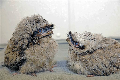 In this Thursday, Aug. 2, 2012 photo provided by the Chicago Zoological Society, two tawny frogmouth chicks hatched on July 9 and 11 are seen at Brookfield Zoo in Brookfield, Ill. They are now a little over 3 weeks old and are being handreared by zookeepers because the parents abandoned the nest after only a few weeks of incubating the eggs. To give the chicks a chance at surviving, a decision was made to pull the eggs and put them in an incubator, located in an off exhibit area at the zoo.  &#40;AP Photo&#47;Chicago Zoological Society, Jim Schulz&#41; <span class=meta>(AP Photo&#47; Jim Schulz)</span>