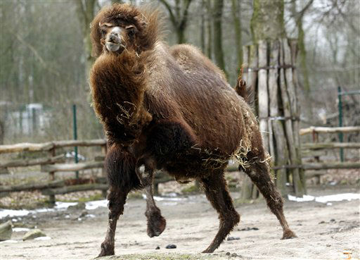 A Bactrian camel runs in its enclosure in the zoo in Gelsenkirchen, Germany, Wednesday, March 13, 2013. (AP Photo/dpa, Roland Weihrauch) Roland Weihrauch/picture-alliance/dpa/AP Images