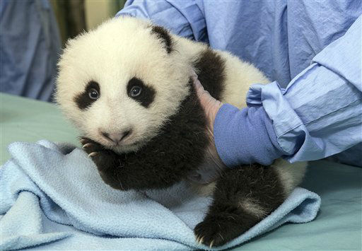 This image provided by the San Diego Zoo shows a cub panda during a routine medical exam Thursday Oct. 4, 2012 at the zoo in San Diego.  The 9-week-old panda cub at the San Diego Zoo was more alert during his exam this week. The cub&#39;s eyes are completely open now and his sight continues to improve, allowing him to be more aware of his surroundings. His growth is on track with other giant pandas born at the San Diego Zoo. &#40;AP Photo&#47;San Diego Zoo, Ken Bohn&#41; <span class=meta>(AP Photo&#47; Ken Bohn)</span>