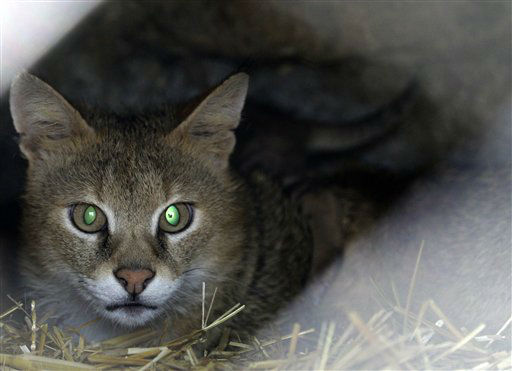 "<div class=""meta ""><span class=""caption-text "">A lynx watches visitors in Belgrade Zoo, Serbia, Thursday, April 18, 2013. Weather forecast predicts good weather conditions in Serbia for the upcoming days. (AP Photo/Darko Vojinovic) (AP Photo/ Darko Vojinovic)</span></div>"