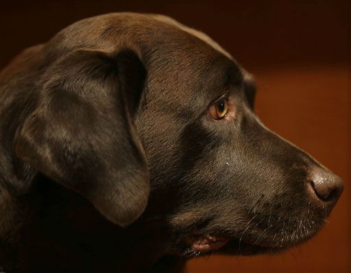 "<div class=""meta ""><span class=""caption-text "">A Labrador retriever named Shayna attends a news conference at the American Kennel Club in New York. The club announced their list of the most popular dog breeds in 2013, where the Labrador retriever remains the most popular dog for a record 23rd consecutive year.  (AP Photo/Seth Wenig) (AP Photo/ Seth Wenig)</span></div>"