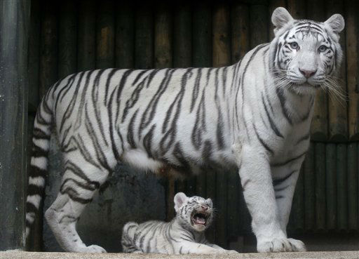 FILE - In this Monday, Sept. 3, 2012 file photo, a rare white Indian tiger cub sits at the feet of its mother Surya Bara at a zoo in the city of Liberec, Czech Republic. An official says a rare white tiger has attacked employees in a Czech zoo after escaping from its enclosure. The incident occurred Thursday Nov. 22, 2012 in the zoo of the northern city of Liberec. &#40;AP Photo&#47;Petr David Josek, File&#41; <span class=meta>(AP Photo&#47; Petr David Josek)</span>