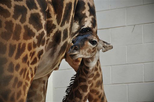 This image provided by the Norfolk Zoo shows a baby giraffe born at the zoo June 6, 2013 in Norfolk, Va. At birth, the calf weighed in at 150 pounds and measured 6???4?? tall. (AP Photo/Norfolk Zoo, Wyn Hall)
