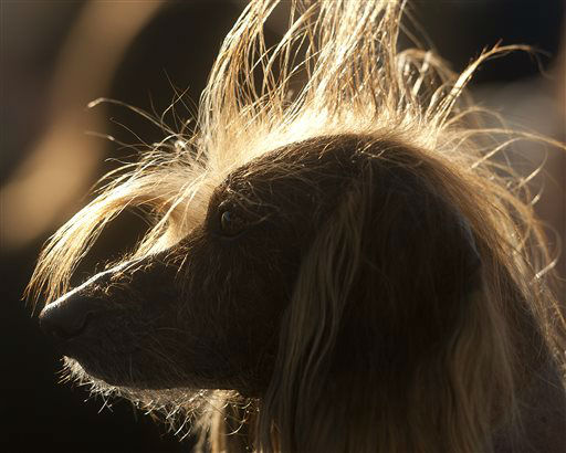 Isaboo, a 7-year-old Chinese Crested, basks in the sun after competing in the 25th annual World&#39;s Ugliest Dog Contest at the Sonoma-Marin Fair on Friday, June 21, 2013, in Petaluma, Calif. Isaboo won third place in the mutt category. &#40;AP Photo&#47;Noah Berger&#41; <span class=meta>(AP Photo&#47; Noah Berger)</span>