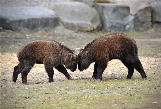 Two Sichuan  or Tibetan takin  calves challenge  in their enclosure in the Tierpark in Berlin, Germany, Tuesday April 9, 2013. 2013. &#40;AP Photo&#47;dpa, Jan-Philipp Strobel&#41; <span class=meta>(AP Photo&#47; Jan-Philipp Strobel)</span>