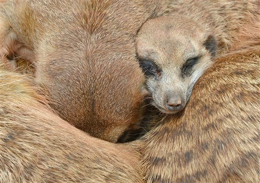 "<div class=""meta ""><span class=""caption-text "">A meerkat relaxes between the conspecifics during warm temperatures in the Erfurt zoo, central Germany, Friday, Aug. 3, 2012. (AP Photo/Jens Meyer) (AP Photo/ Jens Meyer)</span></div>"