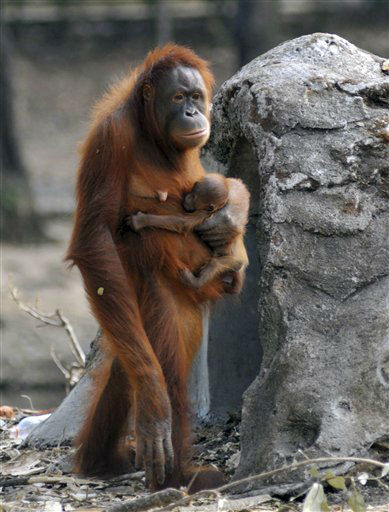 In this photo taken on Thursday, Sept. 27, 2012, Tori, a female orangutan carries her baby at Satwa Taru Jurug zoo in Solo, Central Java, Indonesia. Tori, known as one of the female orangutans which like to smoke cigaret that was given by zoo visitors, gave birth to the baby on Wednesday, Sept. 26, 2012. &#40;AP Photo&#41; <span class=meta>(AP Photo&#47; Uncredited)</span>