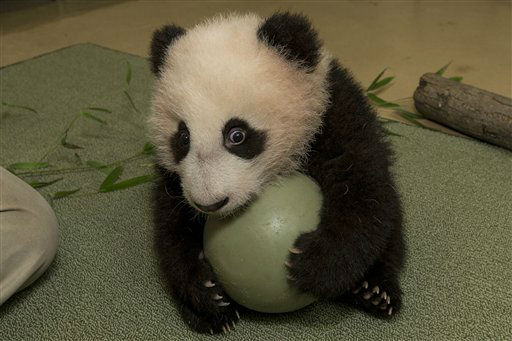In this handout provided by the San Diego Zoo panda cub, Xiao Liwu, was eager to play with a plastic ball during his 18th exam this morning and made it clear that he did not want to share his new toy by holding onto the ball tightly. Panda keepers gave the cub the new toy to test his coordination and encourage him to play with new objects. The 20-week-old panda weighed 14.5 pounds this morning when he was brought in for his weekly veterinary exam and is on track with other giant pandas born at the San Diego Zoo. Only 1,600 giant pandas are believed to exist in the wild, and the species is primarily threatened by habitat loss. San Diego Zoo Global, in conjunction with giant panda experts from the People?s Republic of China, continues to work on science-based panda conservation programs at the Zoo and in China. &#40;AP Photo&#47;San Diego Zoo&#41; <span class=meta>(AP Photo&#47; Ken Bohn)</span>