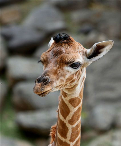 This Sept. 23, 2012 photo provided by Utah&#39;s Hogle Zoo shows a baby giraffe shortly after her birth at the zoo. The new baby giraffe and her mother Kipenzi went on display at Utah&#39;s Hogle Zoo for the first time on Oct. 3, 2012. &#40;AP Photo&#47;Utah&#39;s Hogle Zoo&#41; <span class=meta>(AP Photo&#47; Uncredited)</span>