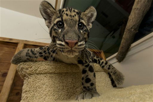 In this photo provided by the San Diego Zoo, Riki-san, a 14-week-old clouded leopard at the San Diego Zoo, and his brother, Haui-san, unseen, make their public debut at the San Diego Zoo Thursday, Dec. 6, 2012. According to zookeepers, 13-pound Riki-san, although larger than his brother Haui-san, is the more timid cat and his coat pattern is darker and his rosettes more pronounced. The two male cubs arrived earlier this week from the Nashville Zoo at Grassmere, where a very successful breeding program has helped to increase the population of this critically endangered species.  &#40;AP Photo&#47;San Diego Zoo, Ken Bohn&#41; <span class=meta>(AP Photo&#47; Ken Bohn)</span>