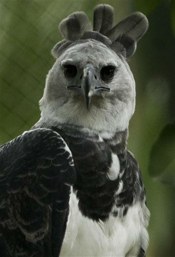 "<div class=""meta image-caption""><div class=""origin-logo origin-image ""><span></span></div><span class=""caption-text"">A new Harpy Eagle (Harpia harpyja) sit on their new cage at Summit Zoo in Panama City, Monday, June 17, 2013. The new Harpy Eagle named 'Panama' is 3 years and 8 months old, was born in the Miami Zoo and is replacing an old eagle that died last year. The Harpy Eagle is Panama's national bird. (AP Photo/Arnulfo Franco) (AP Photo/ Arnulfo Franco)</span></div>"