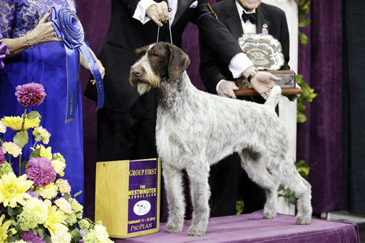 "<div class=""meta image-caption""><div class=""origin-logo origin-image ""><span></span></div><span class=""caption-text"">Oakley, a German wirehaired pointer and winner of the Sporting group, is posed for photographs during the 137th Westminster Kennel Club dog show, Tuesday, Feb. 12, 2013, at Madison Square Garden in New York. (AP Photo/Frank Franklin II) (AP Photo/ Frank Franklin II)</span></div>"