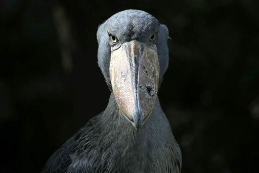 A shoebill is displayed at Ueno Zoo in Tokyo, Tuesday, Aug. 28, 2012.  &#40;AP Photo&#47;Itsuo Inouye&#41; <span class=meta>(AP Photo&#47; Itsuo Inouye)</span>