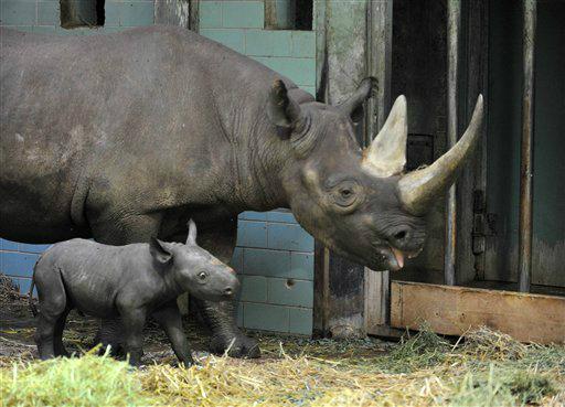 """<div class=""""meta """"><span class=""""caption-text """">Spitzmaulnashorn (Diceros bicornis) Akili steht am Freitag (10.08.12) im Zoo in Berlin in seinem Gehege neben seiner Mutter Ine. Das Weibchen wurde am Montag (06.08.12) geboren und haelt sich derzeit nur im Bereich von Mutter Ine auf. In drei bis vier Wochen wird das Duo dann auch auf der Freianlage zu sehen sein. (zu dapd-Text) Foto: Paul Zinken/dapd</span></div>"""