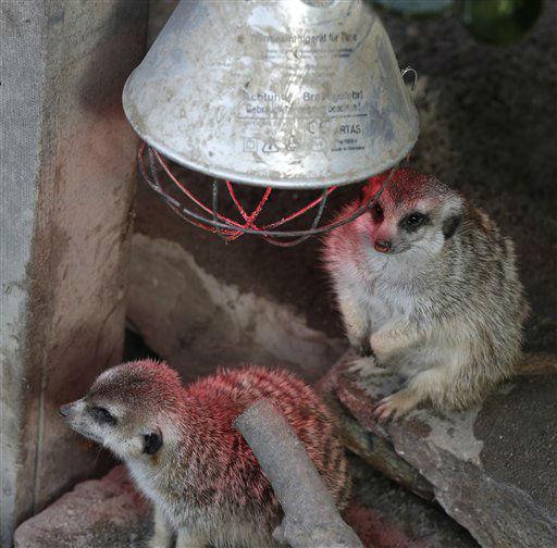 Zwei Erdmaennchen sitzen am Montag &#40;05.11.12&#41; unter einer Waermelampe in seinem Gehege im Opel-Zoo in Kronberg. Die Zoologischen Gaerten und Tierparks in Hessen machen sich winterfest. Dabei belasten die steigenden Kosten fuer Energie und Futter die Kassen der Zoos. &#40;zu dapd-Text&#41; Foto: Alex Domanski&#47;dapd <span class=meta>(Photo&#47;Alex Domanski)</span>