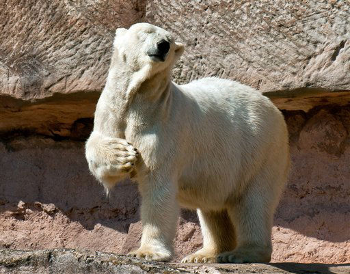 "<div class=""meta image-caption""><div class=""origin-logo origin-image ""><span></span></div><span class=""caption-text"">A polar bear scratches itself as it stands in the sun in its compound at the zoo in Nuremberg, southern Germany, Thursday, April 25, 2013. (AP Photo/dpa, Lennart Martens) (AP Photo/ Lennart Martens)</span></div>"