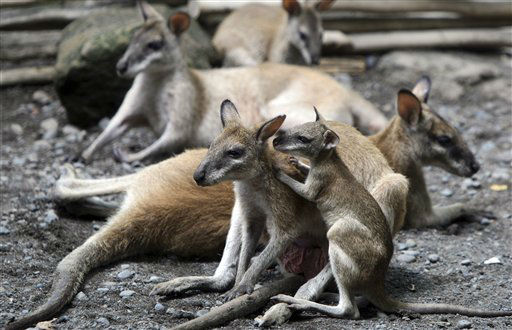 "<div class=""meta ""><span class=""caption-text "">A baby dusky wallaby (Thylogale Brunii), right, which was born on Oct. 6, clings to its mother at Bali zoo in  Gianyar, Bali, Indonesia, Monday, Dec. 3, 2012. (AP Photo/Firdia Lisnawati) (AP Photo/ Firdia Lisnawati)</span></div>"