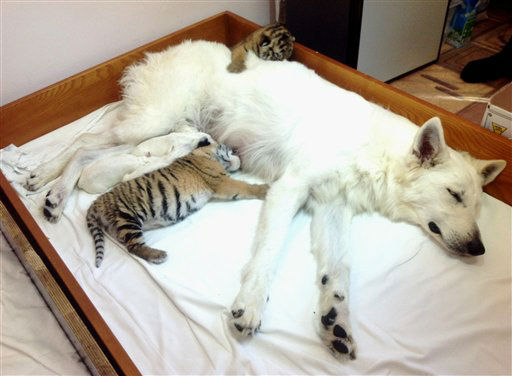 In this photo made Thursday, Nov. 22, 2012, white Swiss Shepherd dog, Talli, feeds orphaned tiger cubs and her own cubs in the Oktyabrsky Zoo in the Black Sea resort of Sochi, southern Russia. Three tiger cubs were born in the Oktyabrsky Zoo in Sochi on Nov. 14. Two male cubs, named Olymp and Dar and one female cub Talli, named after her adoptive mother, were abandoned by their birth mother, tigress Bagira. This is not the first time that Bagira has refused to feed her newborns. &#40;AP Photo&#41; <span class=meta>(AP Photo&#47; Uncredited)</span>