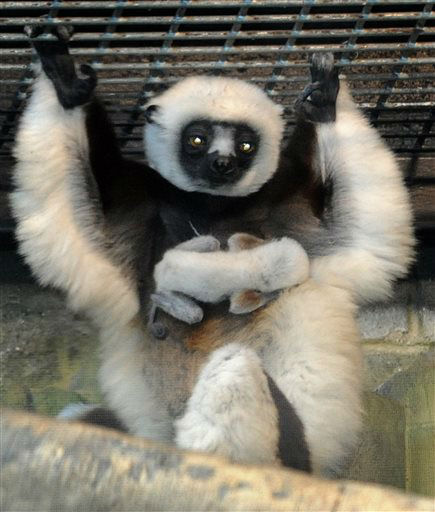 "<div class=""meta image-caption""><div class=""origin-logo origin-image ""><span></span></div><span class=""caption-text"">This March 30, 2013 photo provided by The Maryland Zoo shows Maximilian, a newborn male Coquerel's sifaka, riding on the belly of its mother, Anastasia, at the zoo in Baltimore. The sifaka, an endangered lemur native only to the island of Madagascar, was born to Anastasia and Gratian on March 30. (AP Photo/Maryland Zoo in Baltimore, Jeffrey F. Bill) (AP Photo/ Jeffrey F. Bill)</span></div>"