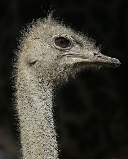 An emu looks alert Feb. 14, 2013, at the Houston Zoo. (AP Photo/Pat Sullivan)