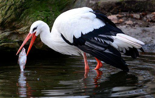 """<div class=""""meta """"><span class=""""caption-text """">Ein Storch (Ciconiidae) frisst am Mittwoch (02.01.13) im Gehege im Zoo in Dresden einen Fisch. Foto: Matthias Rietschel/dapd</span></div>"""